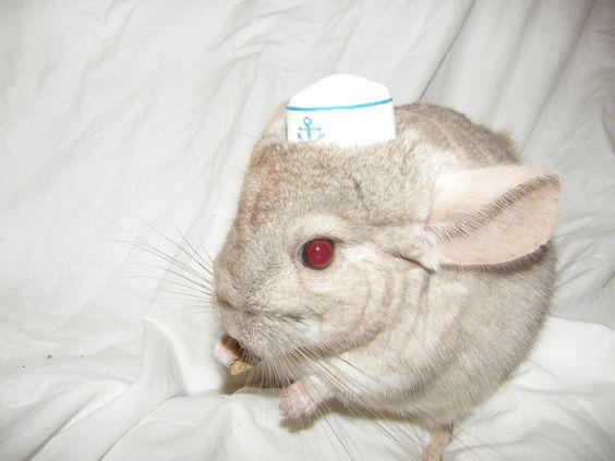 Chinchillas In Hats