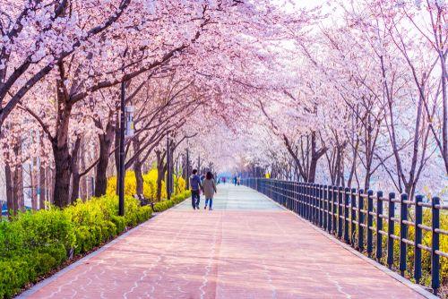 One Of The Most Beautiful Spring Walks You Can Take In Seoul South Korea Pemandangan Kota Pemandangan Korea Selatan