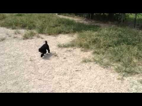 Toy poodle chasing a butterfly.  Adorable!