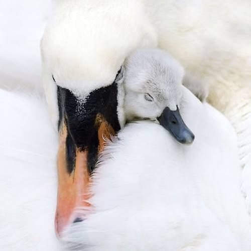 Mother and baby swan.
