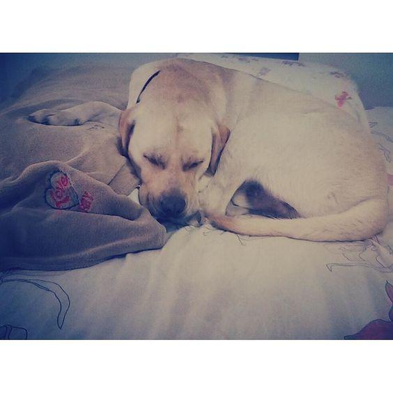 Hora de nanar!  Boa noite aumigos!  #Harry #Labrador #Retriever #filhotes #cachorro #dog #Instadog #instaharry #instapet #dogslovers #puppy #pup #doggie #pet #lab #yellowlab #golden #talesofalab #babydog #loveanimals #labragram #laboftheday #worldoflabs #photo #instagram #night #noite #goodnight #boanoite #dormir by labradorrharry