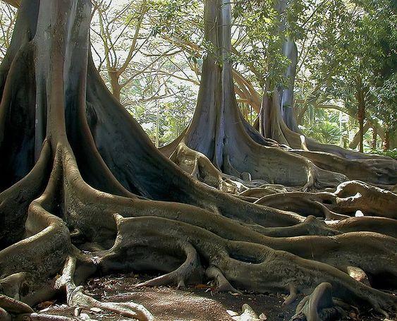 """Résultat de recherche d'images pour """"Australie, pieuvre végétale : figuier de Moreton"""""""