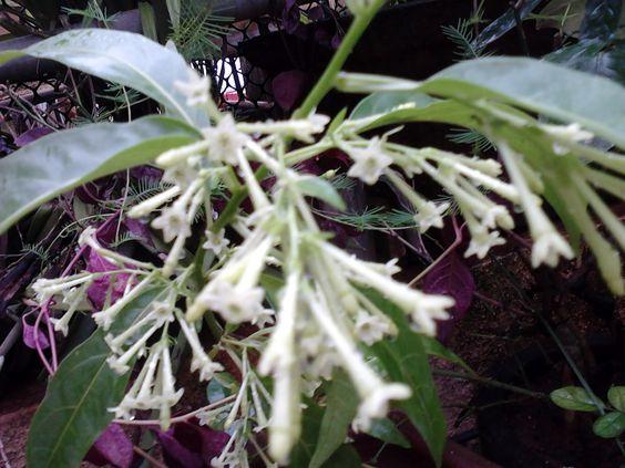 Jasmine Flower Plant For Sale