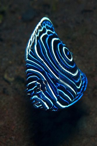 Juvenile Emperor Angelfish - I wish I had a salt water tank in my house. One day..!