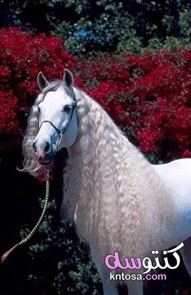 اجمل الصور للخيول العربية الاصيلة اجمل خيول عربية اصيلة خلفيات خيول وشعر Kntosa Com 27 19 156 Beautiful Horses Andalusian Horse Horses