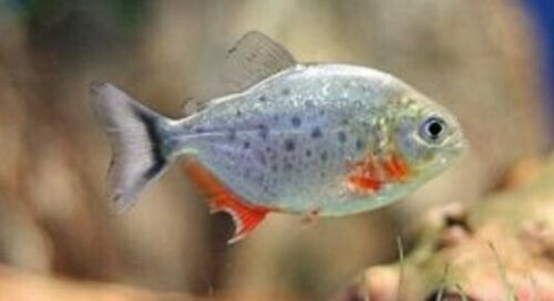 Buy Red Belly Piranhas