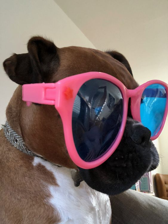 Boxer dog in shades looking cool