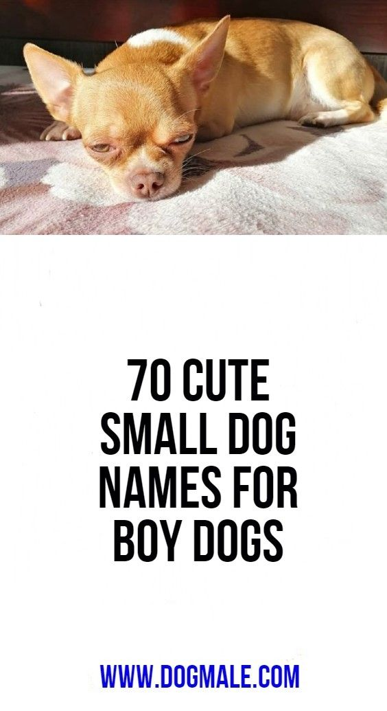 70 Cute Small Dog Names For Boy Dogs Small Dog Names Cute Small Dogs Boy Dog Names