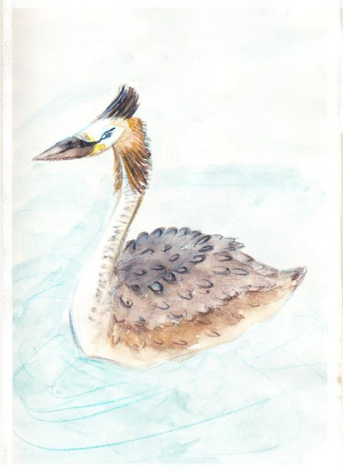 Drawing Bird Great Crested Grebe With Watercolor Grebe Huppe