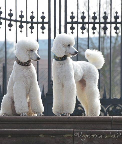 Poodles Smart Active And Proud Poodle Dog Dog Breeds Poodle