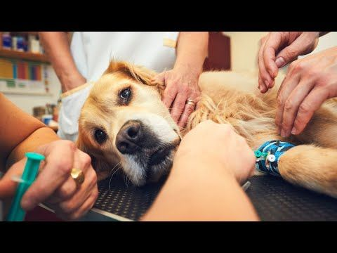 Natural Remedies For Pyometra In Dogs Youtube In 2020 Animal Hospital Dog Health Canine Care