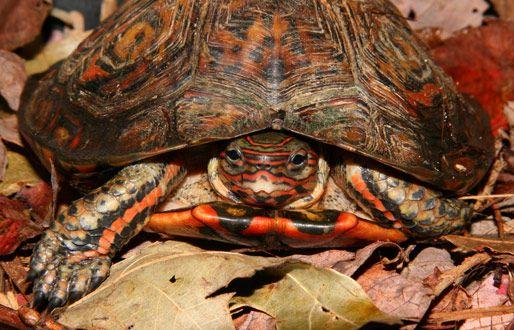 tortuga de madera mexicana - Buscar con Google