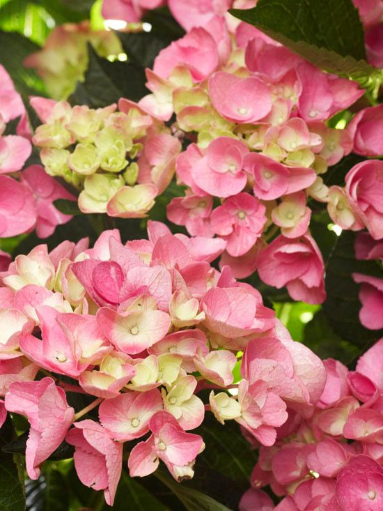 How to care for and choose hydrangeas gardens backyards and flower - Caring hydrangea garden ...