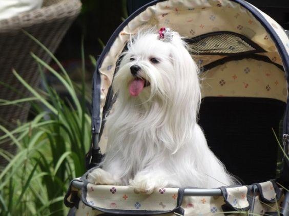 Quem está acompanhando a novela Salve Jorge, exibida às 21h na TV Globo, já deve ter reparado em uma personagem pra lá de fofa que é integrante da família Flores Galvão: a cachorrinha Emily.