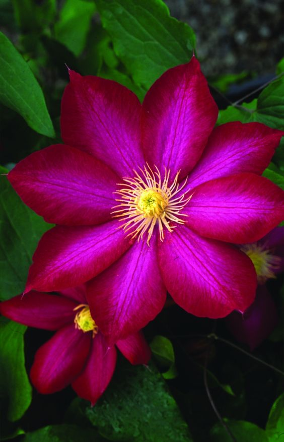 Magic magenta Clematis - I love this!! I want this in ...
