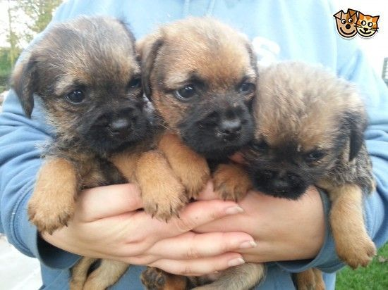 Border Terrier Puppies Border Terrier Puppy Border Terrier Terrier