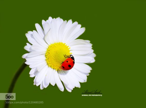 Ladybug and flower Chrysanthemum by AhmadAyesh. Please Like http://fb.me/go4photos and Follow @go4fotos Thank You. :-)