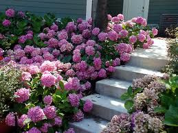 Let's Dance Hydrangeas! Look at that color... Hydrangeas make great cut flowers so snip away and fill your homes with these massive pink blooms.