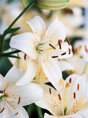 Asiatic Lily.     - Under myrtle