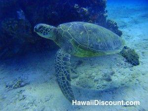 Green Sea Turtle - Oahu Hawaii