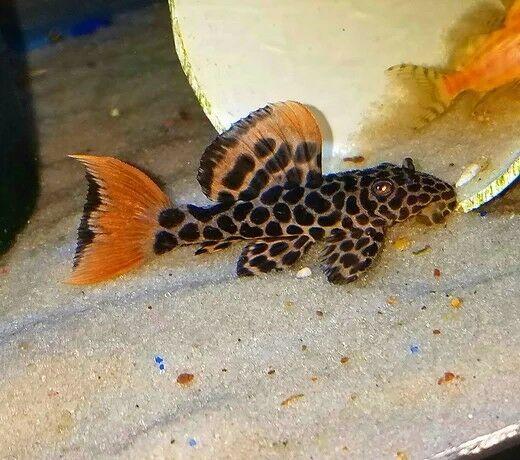 2 5 Inch L114 Pleco Pseudacanthicus Leopardus Tropical Fish Weird Fish Aquarium Fish