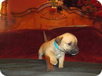 Ridgewood, NY - American Pit Bull Terrier Mix. Meet Bo a Puppy for Adoption.