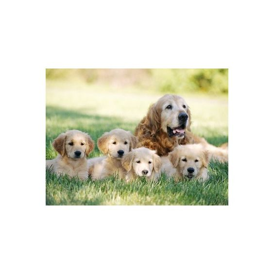 Mother Dog and Puppies Photographic Wall Art Print ($35) ❤ liked on Polyvore