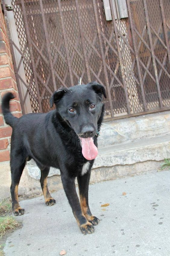 SUPER URGENT 7/26/13 Brooklyn Center BRASCO A0971994 Male black/brown flat coat retr mix 5 YEARS old.