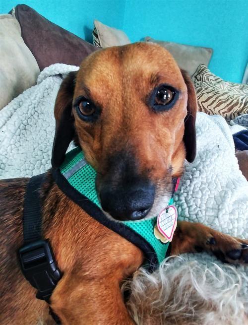 Floyd In Tn S Web Page Dachshund Rescue Pet Dogs Dachshund