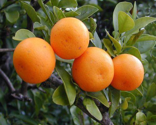 نارنگي كينو پاكستاني Fruit Citrus Fruit Citrus Trees