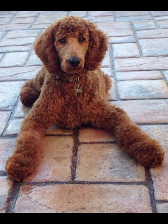 Shelby. Standard Poodle, 5 months old.