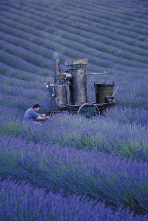 Distilling Lavender by bbooky