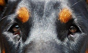 Dog, Eyes, Doberman
