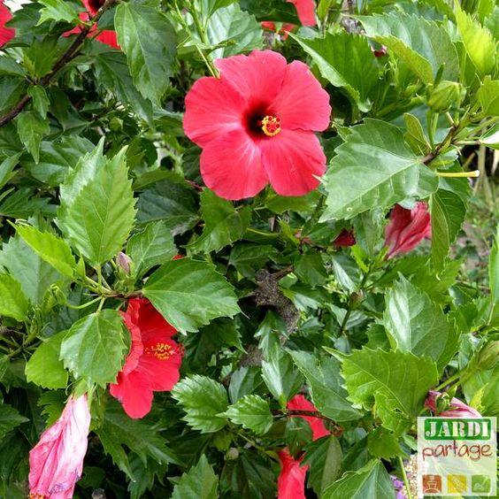 Entretien Hibiscus, Rose de Chine: tous les bons gestes !