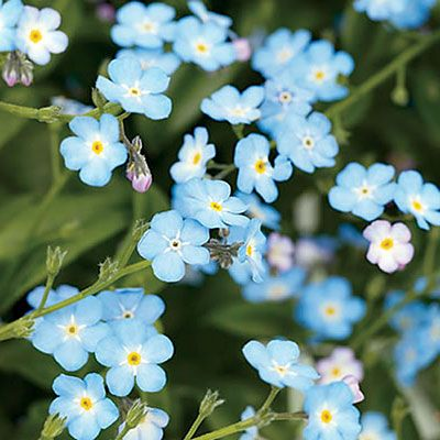 Forget-me-not (Myosotis sylvatica). Must-haves for lightly shaded woodland gardens, these much-loved plants bear tiny but exquisite blue flowers in spring in mild climates. 'Baby Blue', a hybrid from Proven Winners, has true blue flowers and grows 6 to 8 inches tall. Photo courtesy of Proven Winners.
