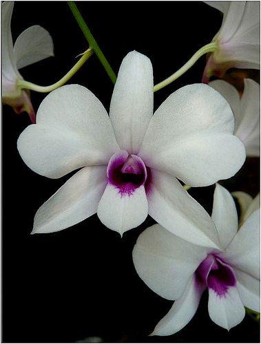 Dendrobium Bigibbum Var Compactum Dendrobium Orchids Orchids Flowers