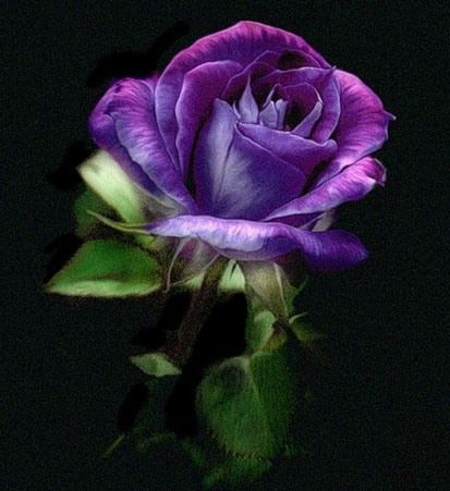 Lovely rose: