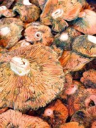 Rizike- ehető   Gombák - az erdő ajándékai