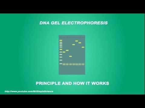 DNA Gel electrophoresis - Simple Animated Tutorial - YouTube