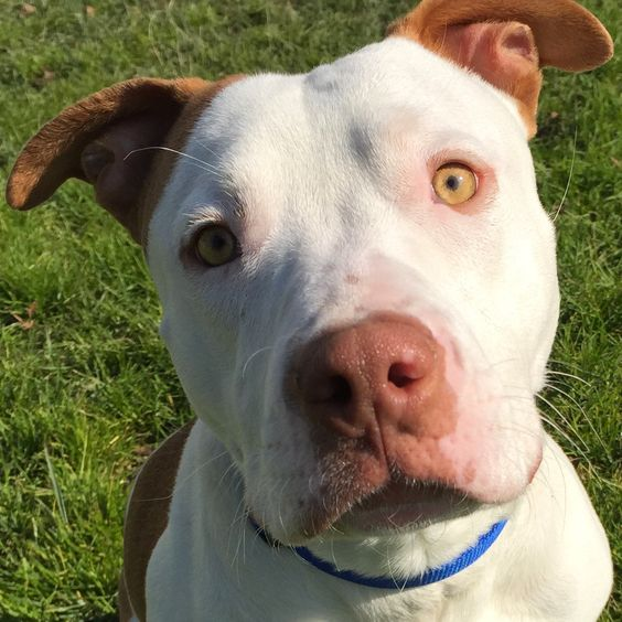 Update May 2015: Hi, I'm Harold, I have a special reason to celebrate National Pet Month, I'm ADOPTED!! My Gotcha Day is May 2. I'm a sweet and cuddly 1-year old boy, who arrived at the shelter as a stray in December 2014. I'm pretty smart and enjoy training, play dates with other dogs at the shelter. I was a longest term resident at Oakland Animal Services. Thank you to the staff and volunteers who took care of me during my stay.