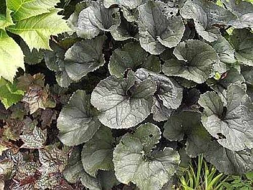 Kreuzkraut Othello - Ligularia dentata | eBay