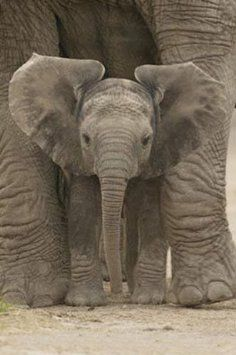 Baby Elephant with Big Ears, Photography Poster Print, 24 by 36-Inch