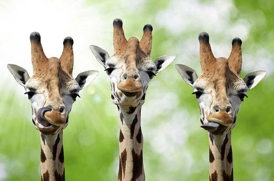 22 Facts That Will Change The Way You Look At Giraffes (I LOVE THEM SO MUCH!!!!)