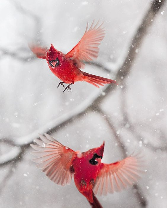 Cardinals on the wing.: