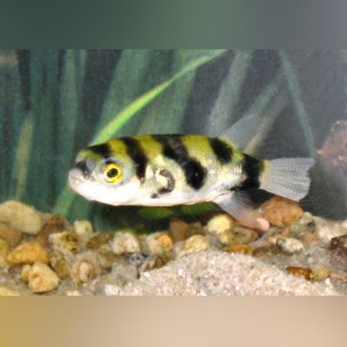 Amazon Puffer Aquariumfishsale Com Puffer Fish Dwarf Puffer Fish Marine Aquarium Fish