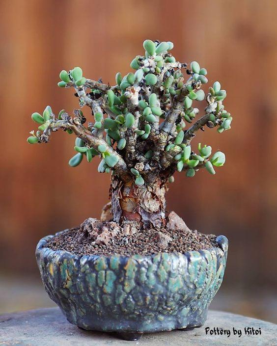 "Ceraria pygmaea, 4"" pot, by Keith Kitoi Taylor"
