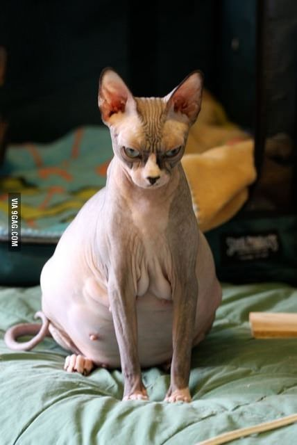 This pregnant hairless cat is proof that evolution is full of goofs. ALSO! How I perceive most pregnant women.
