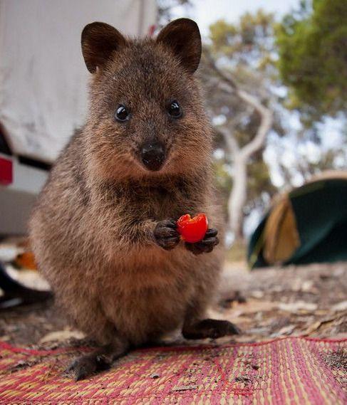 Quokka Friday Marsupial Native To Rottnest Island Near Perth W A Quokka Marsupial Chinese Massage