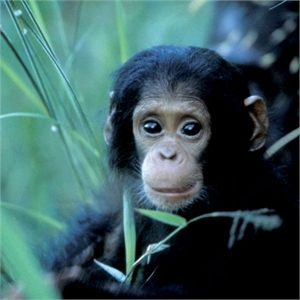 The Gorilla Orangutans And Uganda On Pinterest