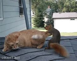 Squirrel flirts with a cat